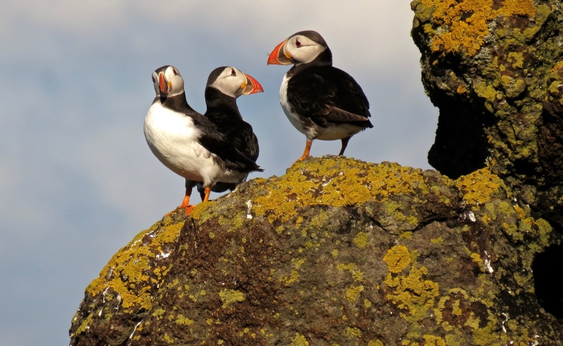 Puffins on the May
