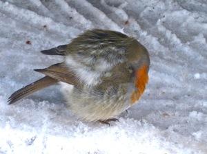 robin cold