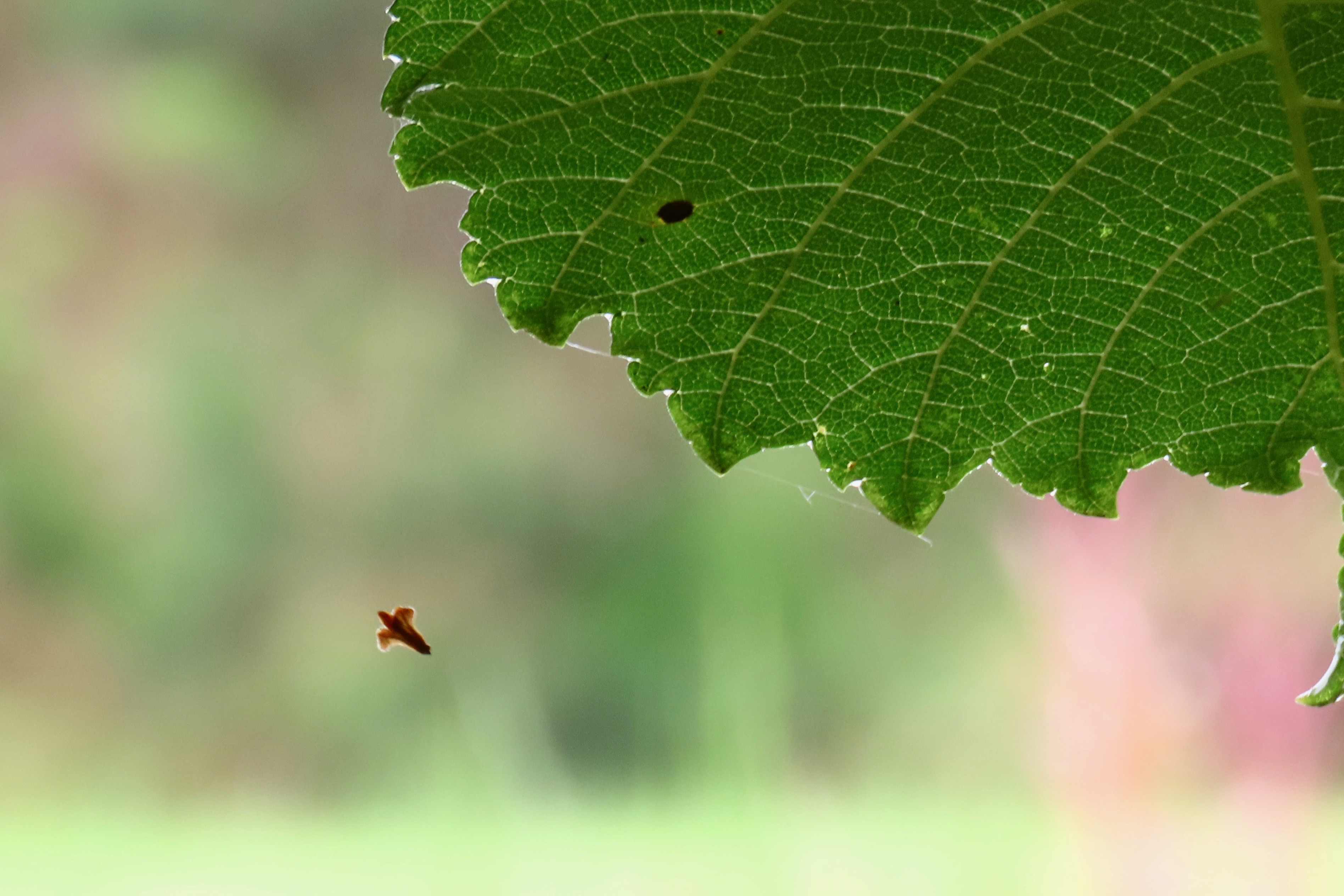 birch seed 2