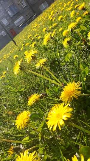 Dandies on grass